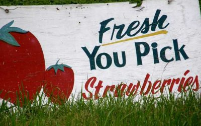 Strawberry Season…..Picked to Perfection!