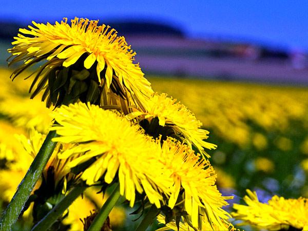 Dandelion field - image | ugod (http://s3.amazonaws.comwww.flickr.com/photos/ugod/4579369662/)