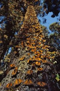 Monarch butterflies clustered on tree trunk, Danaus plexippus, Michoacan, Mexico